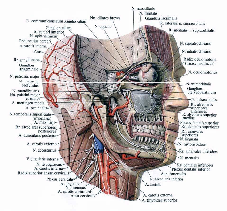 Wunderbar Ganglion Stellatum Anatomie Ideen - Physiologie Von ...