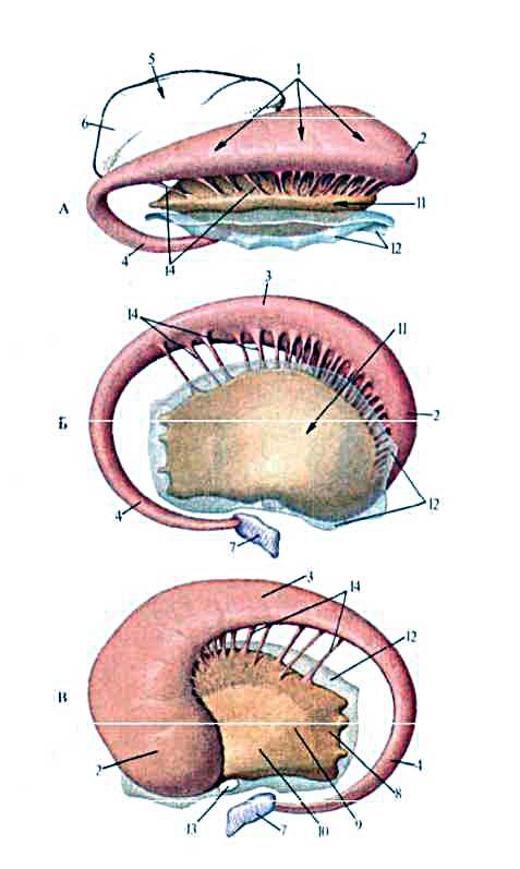 Ядро Чечевицеобразное фото