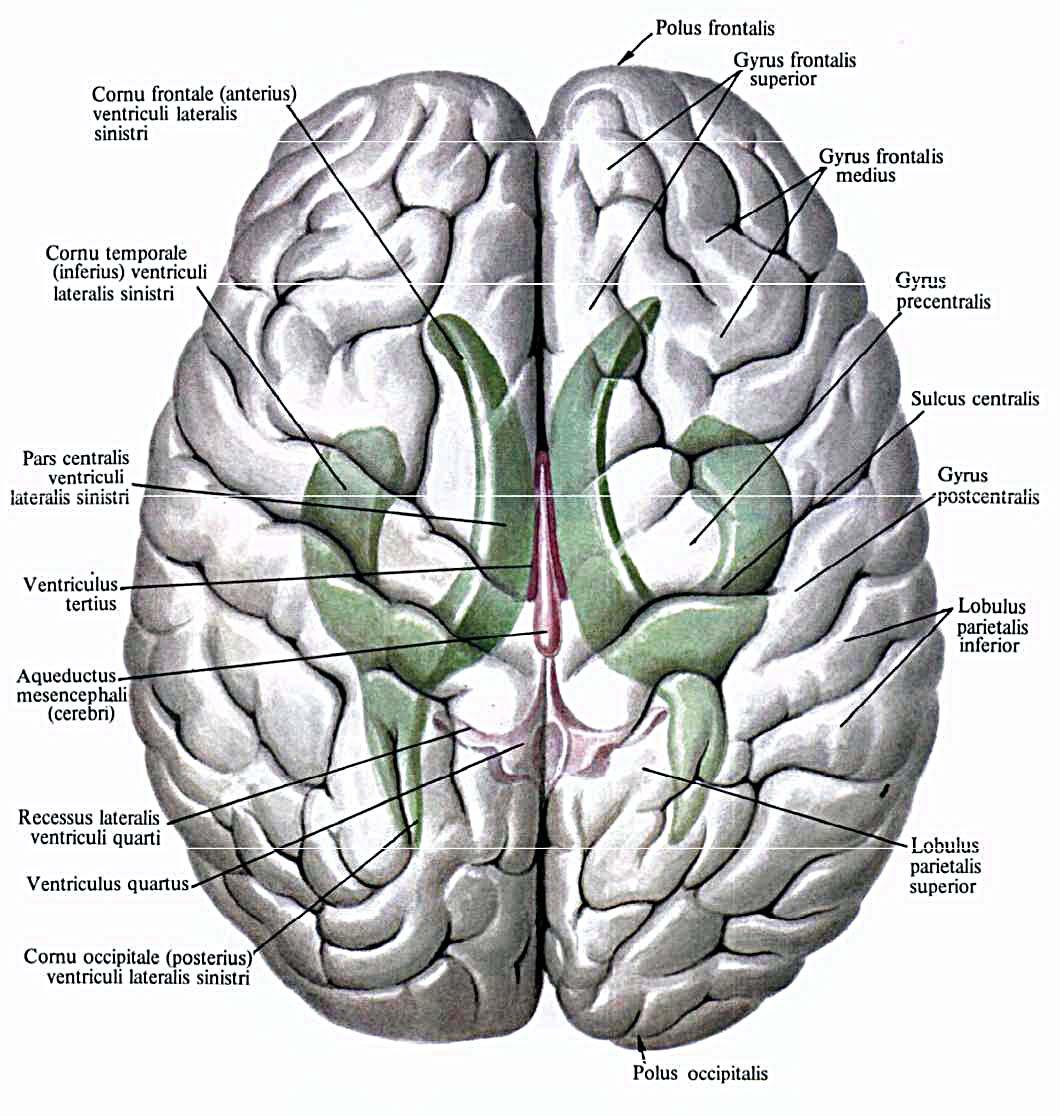 Мозг передний фото